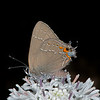 Barbara's buttons with oak hairstreak