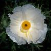 White prickly poppy
