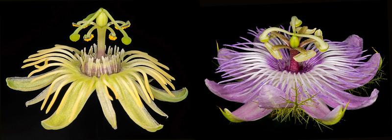 Passionflower comparison