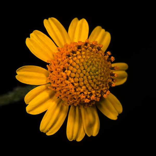 Oppositeleaf spotflower