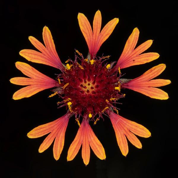 Lanceleaf blanketflower