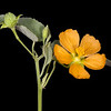 Velvet-leaf Mallow
