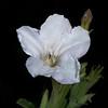 White ruellia