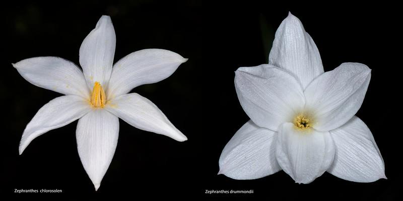 Rain lily comparison