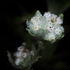 Spring pygmycudweed