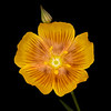 Berlandier's yellow flax