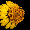Awnless bush sunflower