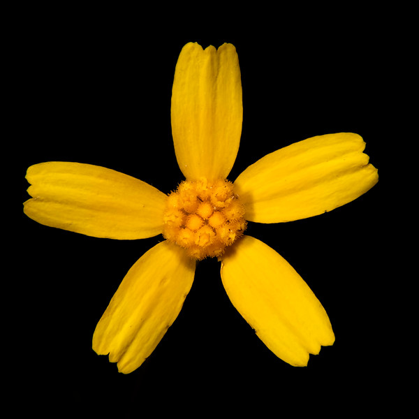 Fineleaf fournerve daisy