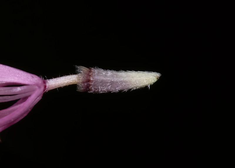 Small palafox pappus