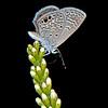 Texas kidneywood with Ceranus blue butterfly