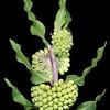 Green comet milkweed