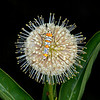 Buttonbush with Ailanthus webworm moth