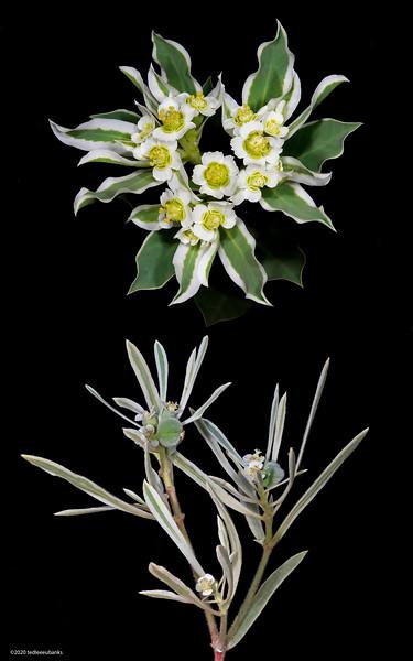 Euphorbia comparison