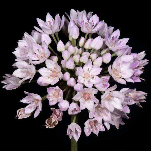 Meadow garlic