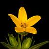 Texas yellow star