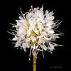 Roundhead prairie clover