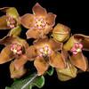 Wavy-leaf milkweed vine