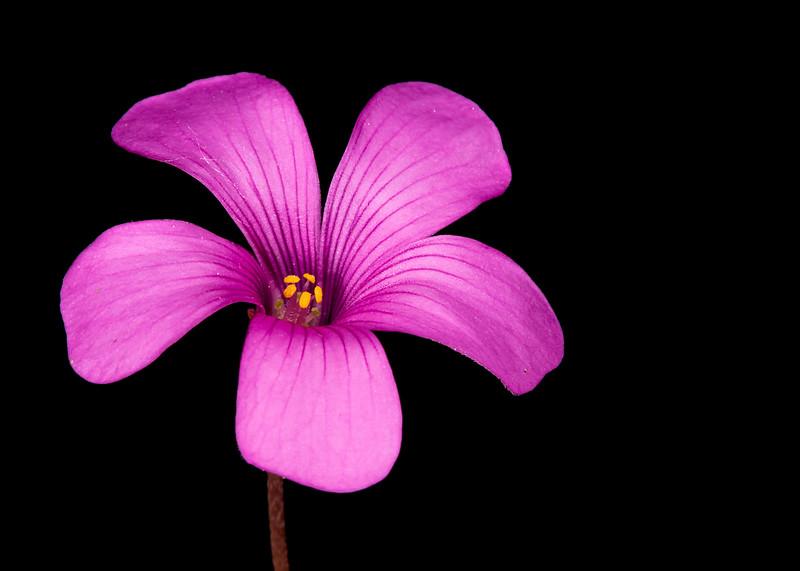 Violet woodsorrel