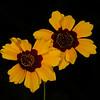 Plains coreopsis