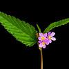 Pyramidflower