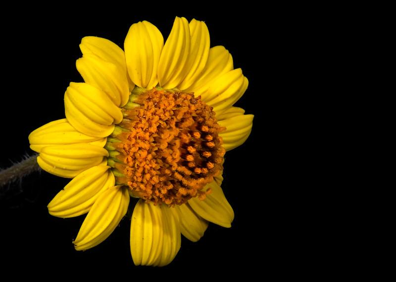 Bush sunflower