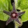 Purple milkweed vine