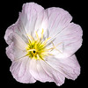Pink evening primrose (white variant)