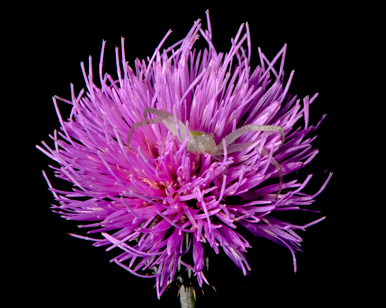 Texas thistle with crab spider
