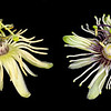 Passionflower comparatives