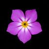 Goldeneye phlox