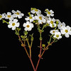 Flowering euphorbia