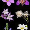 Drummond's flowers