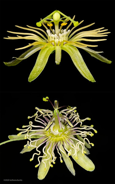 Passionflower comparative