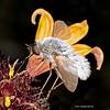 Lanceleaf blanketflower with bee fly