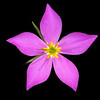 Rose gentian