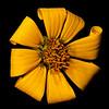Engelmann daisy