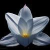 Prairie rain lily