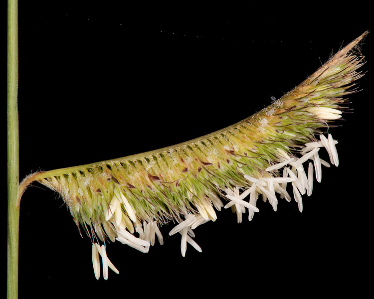 Hairy grama