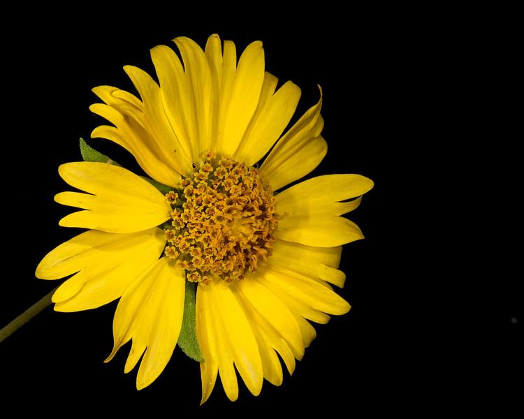 Cowpen daisy