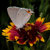 Gray hairstreak on firewheel