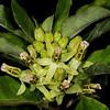 Zizotes milkweed