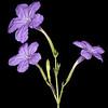 Wild violet ruellia