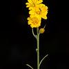 Texas snakeweed