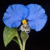 Erect dayflower