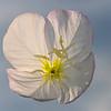Pink evening primrose white variant