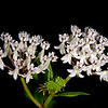 Texas milkweed