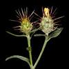 Maltese star-thistle Centaurea melitensis