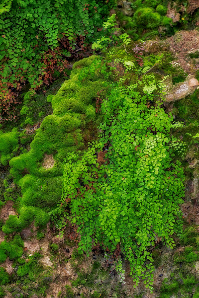 Maidenhair fern seep along Brushy Creek
