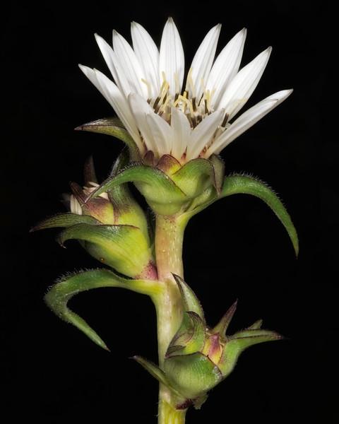 White rosinweed