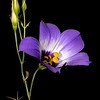 Texas bluebell